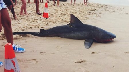Bull Shark - Beached - South Africa Coast - 2014